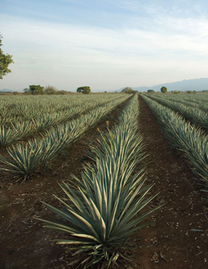 Agave juice filtration for tequila production and inulin recovery